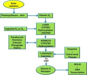 Vit D Synthesis image